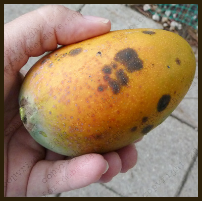 how to tell when a mexican mango is ripe